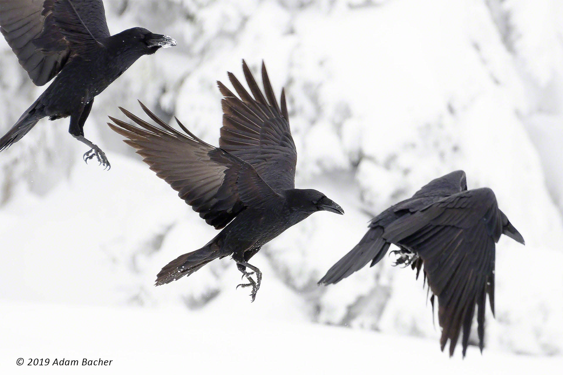 Ravens Larger Than Life – Mural Print Exhibit and Artist Reception