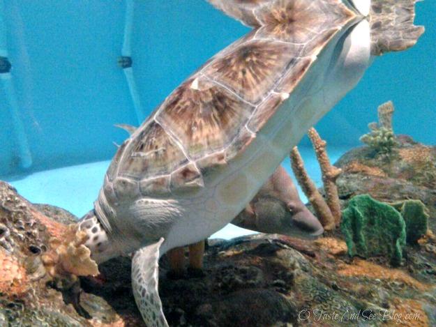 sea life aquarium turtle