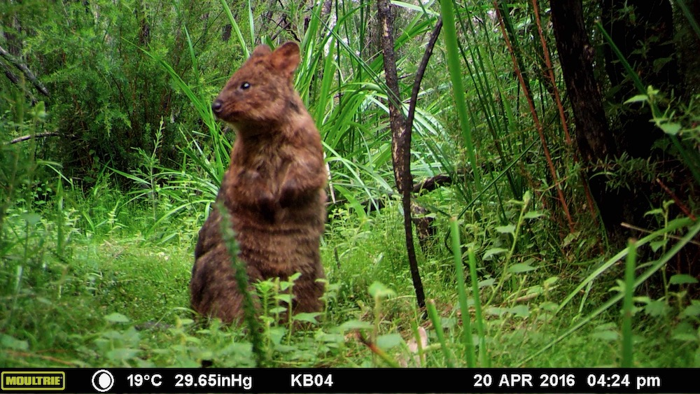 Quokka captured on a camera trap in Northcliffe fire area. Photo: Tech Guide