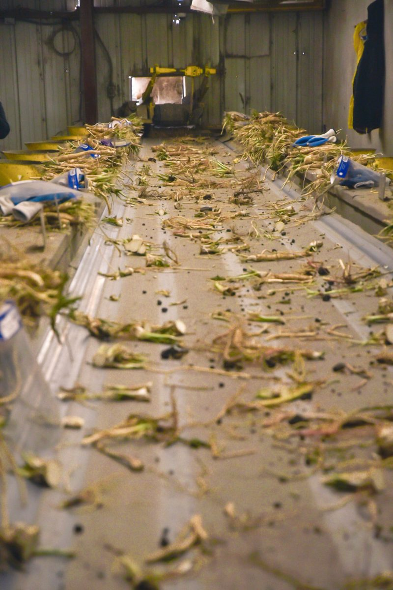 Workers sort horseradish before it gets packaged.