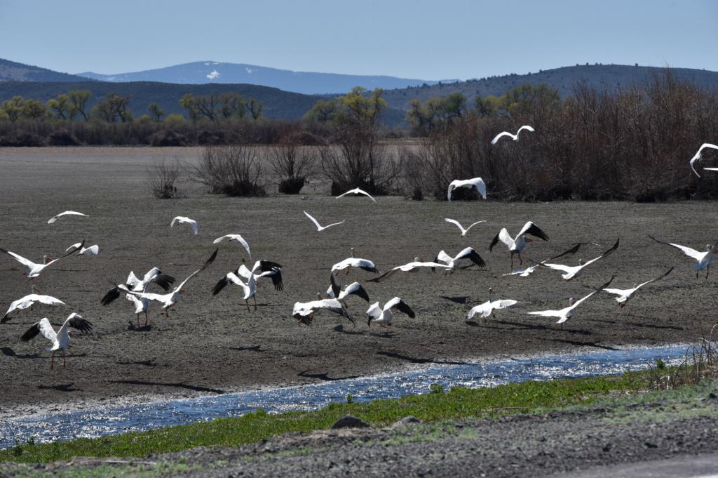 Pelicans in flight in the Klamath Basin. Photo by Chelsea Shearer.