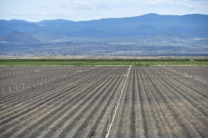 Potato field on the Tule Lake Leaselands. Photo by Chelsea Shearer.