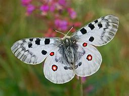 Apollo Butterfly White Spotted