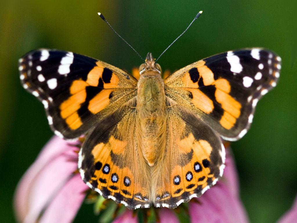 Painted Lady Butterfly Orange