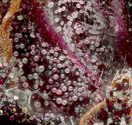 Macro shot of Purple Emperor Hemp variety by Davis Farms