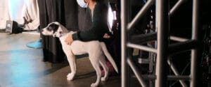 a puppy waits on a leash to the side of a stage. Stage lights, spotlight, and lighting truss can be seen.