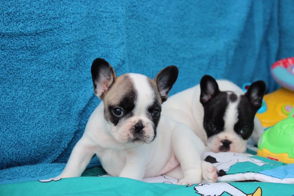 Puppy Gallery © Hallmark French Bulldogs