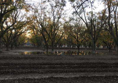 Sunset in pecan field during harvest