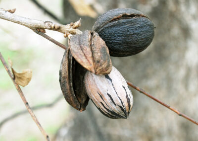 Close up of pecans on tree branch