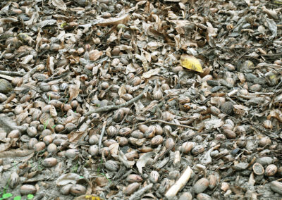 Pecans laying on ground during harvest