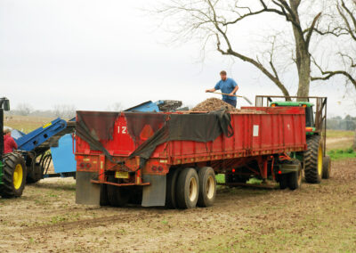Tractor trailer full of pecans during harvest