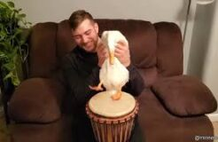 Duck Playing The Drums