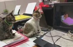 Amazing Video of Two Cats Watching Tom & Jerry