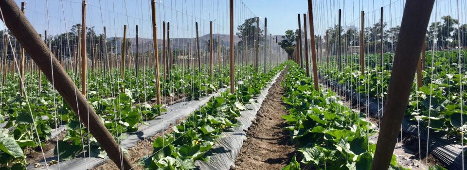 Innovative Produce Cucumbers