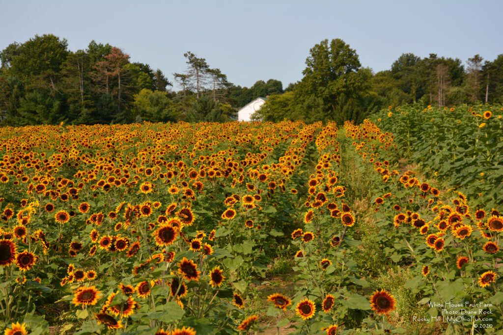 WhiteHouse Fruit Farm Sunflowers