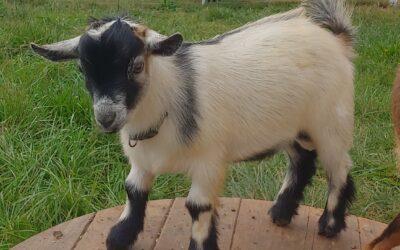 Goatie Mountain Marcel