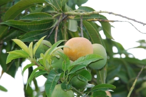 Mango branch
