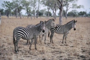 zebras