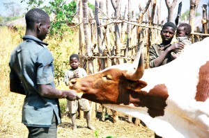 Compose a poem about the man and his cow in a Zambian language.