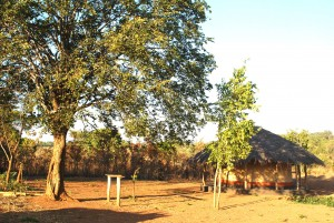 The two trees right behind the author's hut in the village could be used for treating illness. The tall Msoro tree on the left and smaller Mtowa tree on the right.