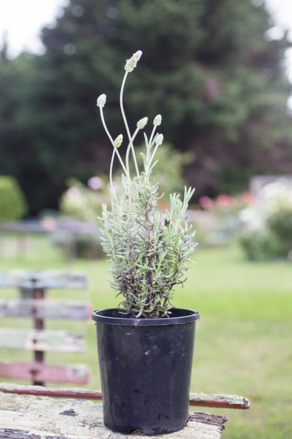 French lavender 'Pure Harmony'