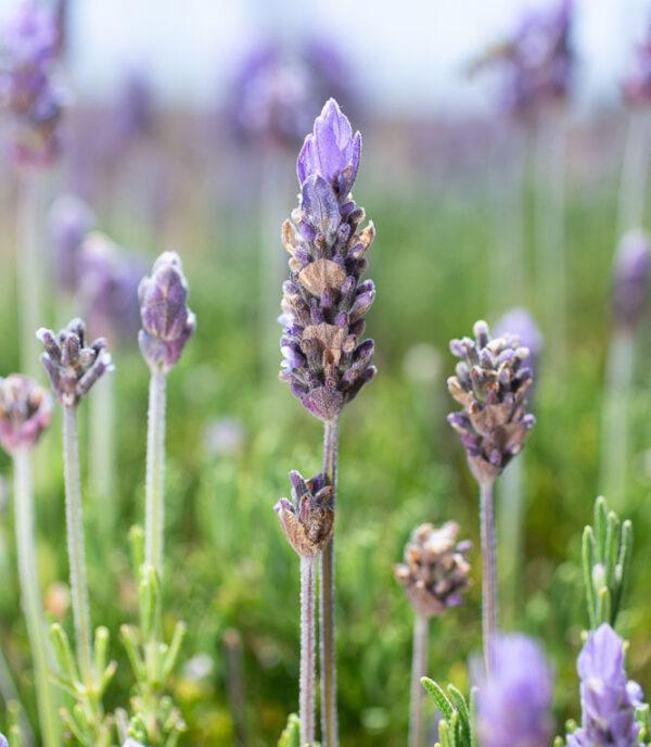 French Lavender 'Royal Crown'