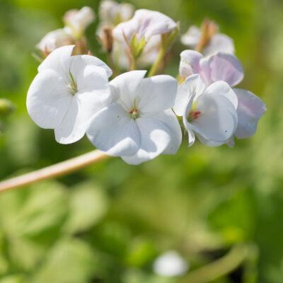 Geranium Maverick white