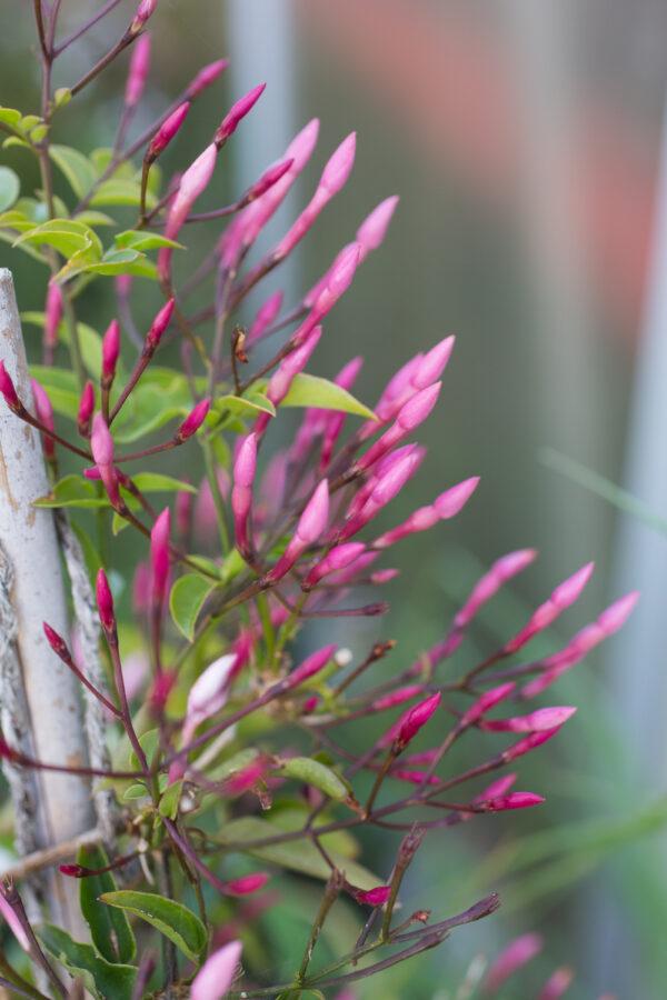 Jasmine polyanthum