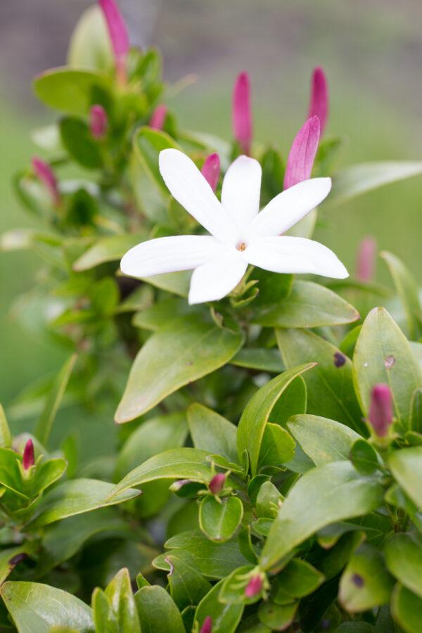 Jasmine multipartitum