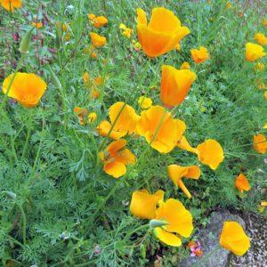 California poppy state flower of California