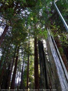 California Redwoods photo by CSF Registrar Gwen Rasmussen