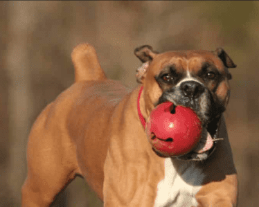 Boxer dog with ball in mouth