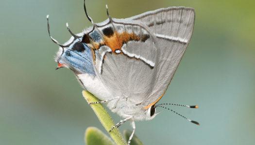Butterflying is Free