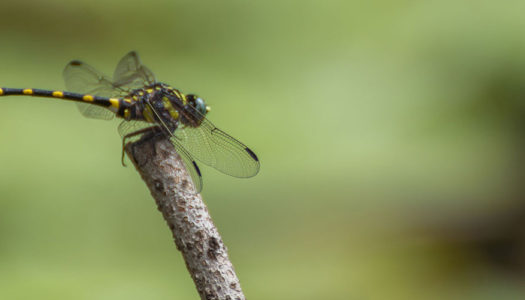Dragonfly Ecology