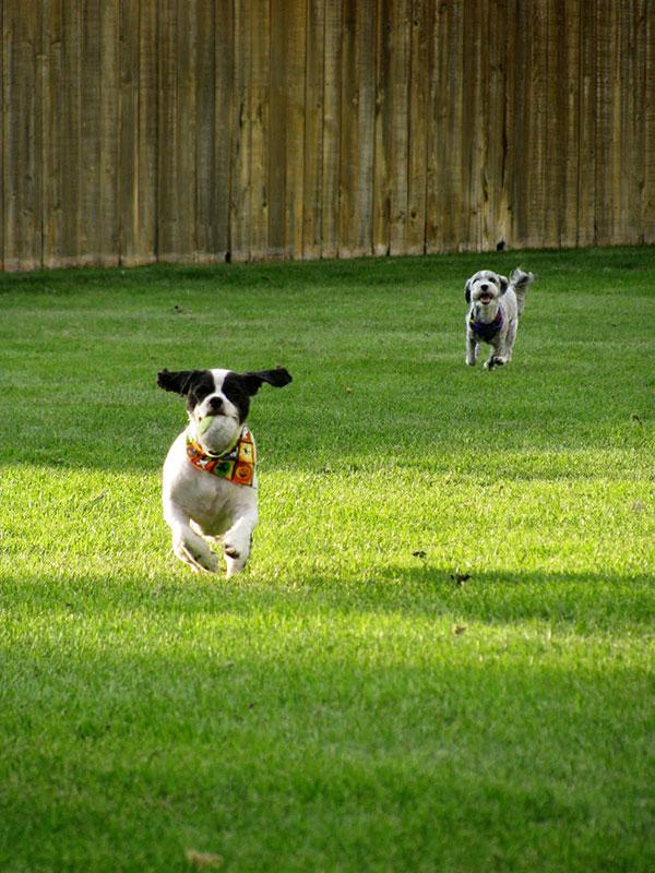Dog Running for Pumpkin Cake for Dogs