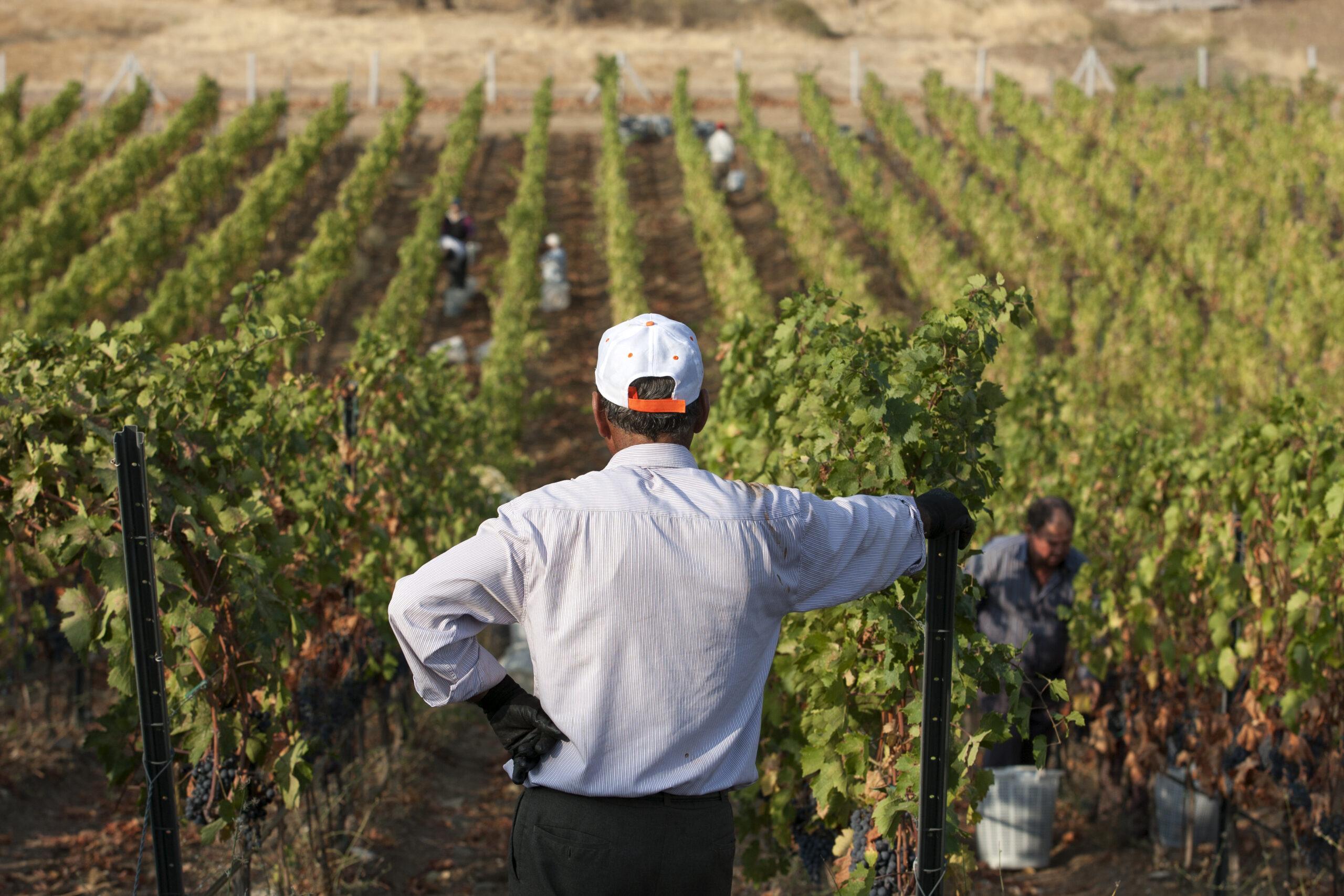 Farmer overlooks a vineyard