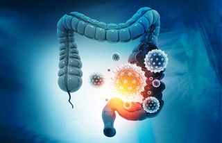The gut trains the immune system to protect the brain