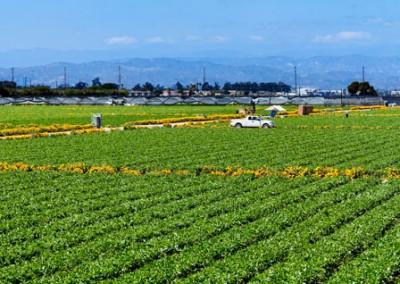 12 Oxnard Strawberries Marigold panorama