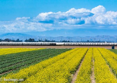 Cabbage field with clouds-1