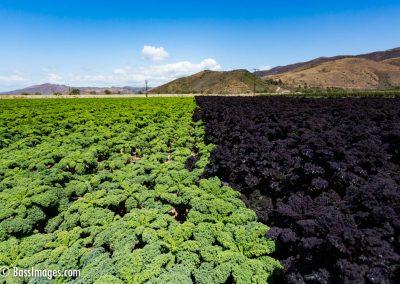 Kale field-4