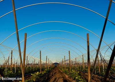 Oxnard crop hoops_3877