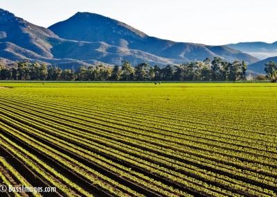 crop_rows_mountains
