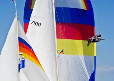 spinnaker and pelican