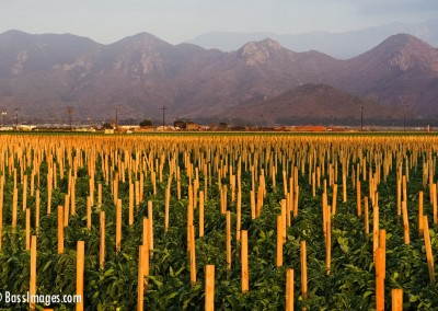 staked tomatoes and mountains 2