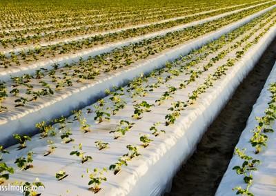 strawberry fields with plastic