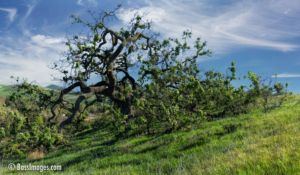 One Oak in a Thousand