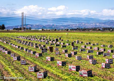 Cilantro harvest-15