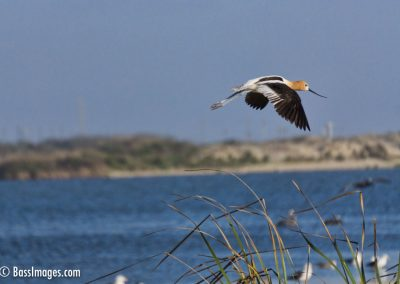 Avocet flight at Ventura lagoon-1