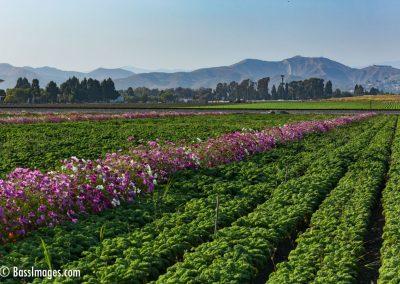 Food & Flowers Ventura-1