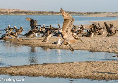 Pelicans at Ventura lagoon-1